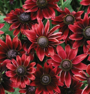 "Rudbeckia ""Cherry Brandy"""
