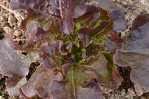 "Lettuce - ""Paradai Oakleaf"""