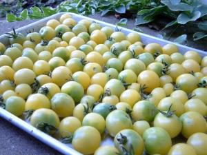 "Tomato - ""Snow White Cherry"" (Heirloom)"