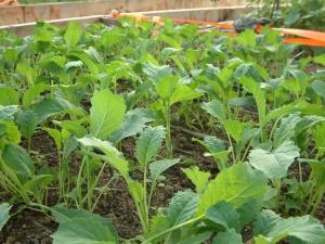"Kale ""Black Tuscan"" (Heirloom)"
