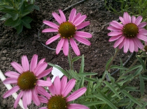 "Echinacea Purpurea (Coneflower) ""Pixie Meadowbrite"""