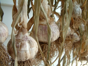 Garlic - Russian Red (heirloom)