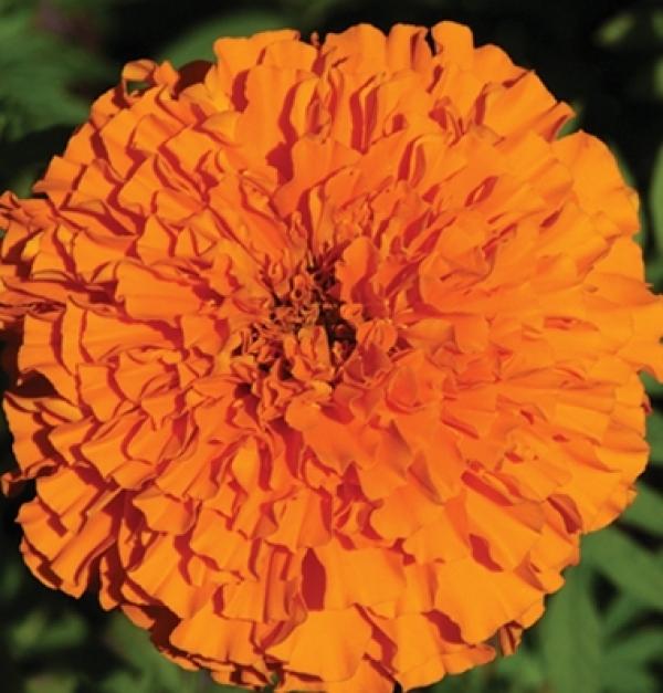 """Marigolds """"Giant Orange"""""""