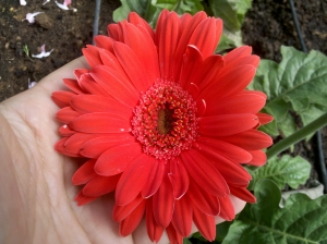 "Gerbera Daisy - ""Royal Sunset Mix"""
