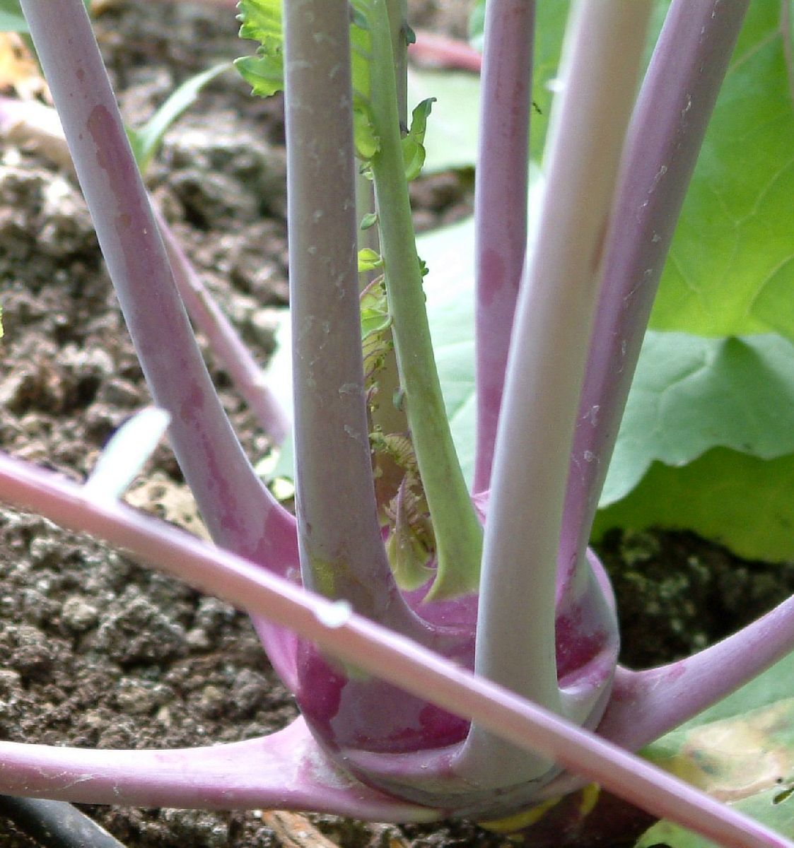Kohlrabi in the Bed