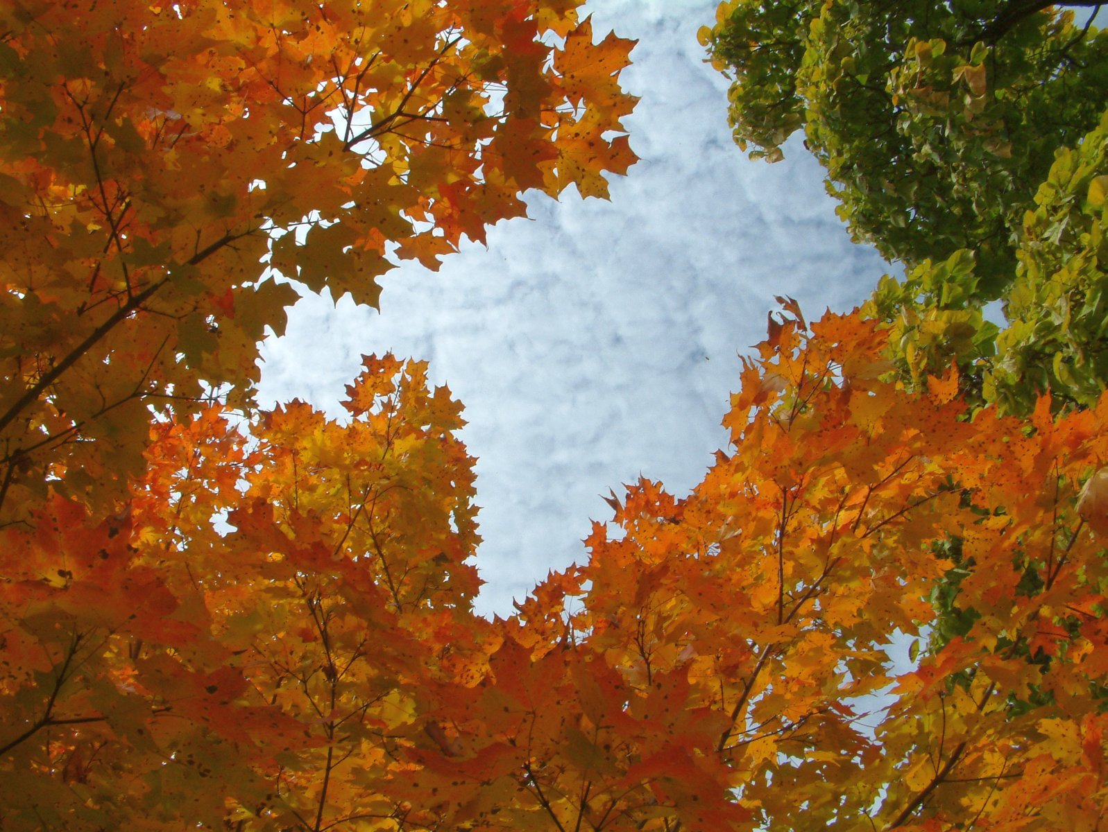 October Maple and Catalpa Trees under a Blue Sky