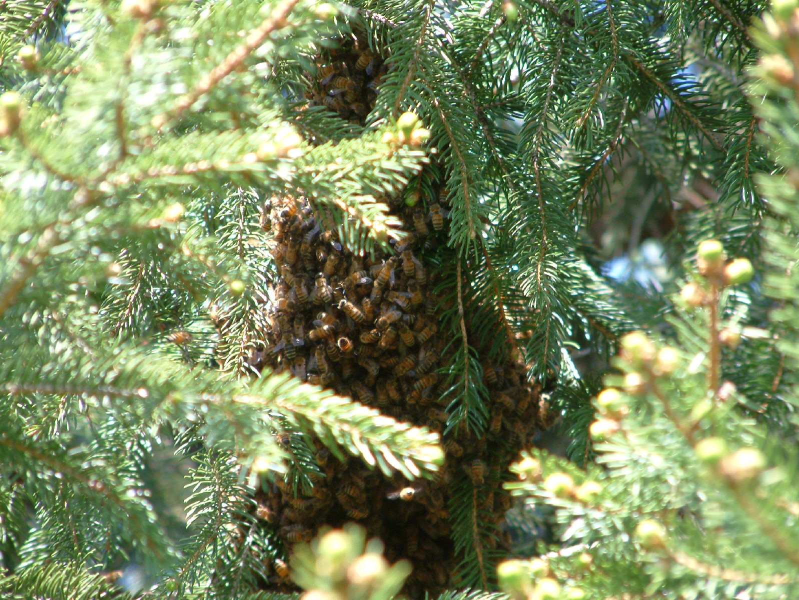Swarm in Pines