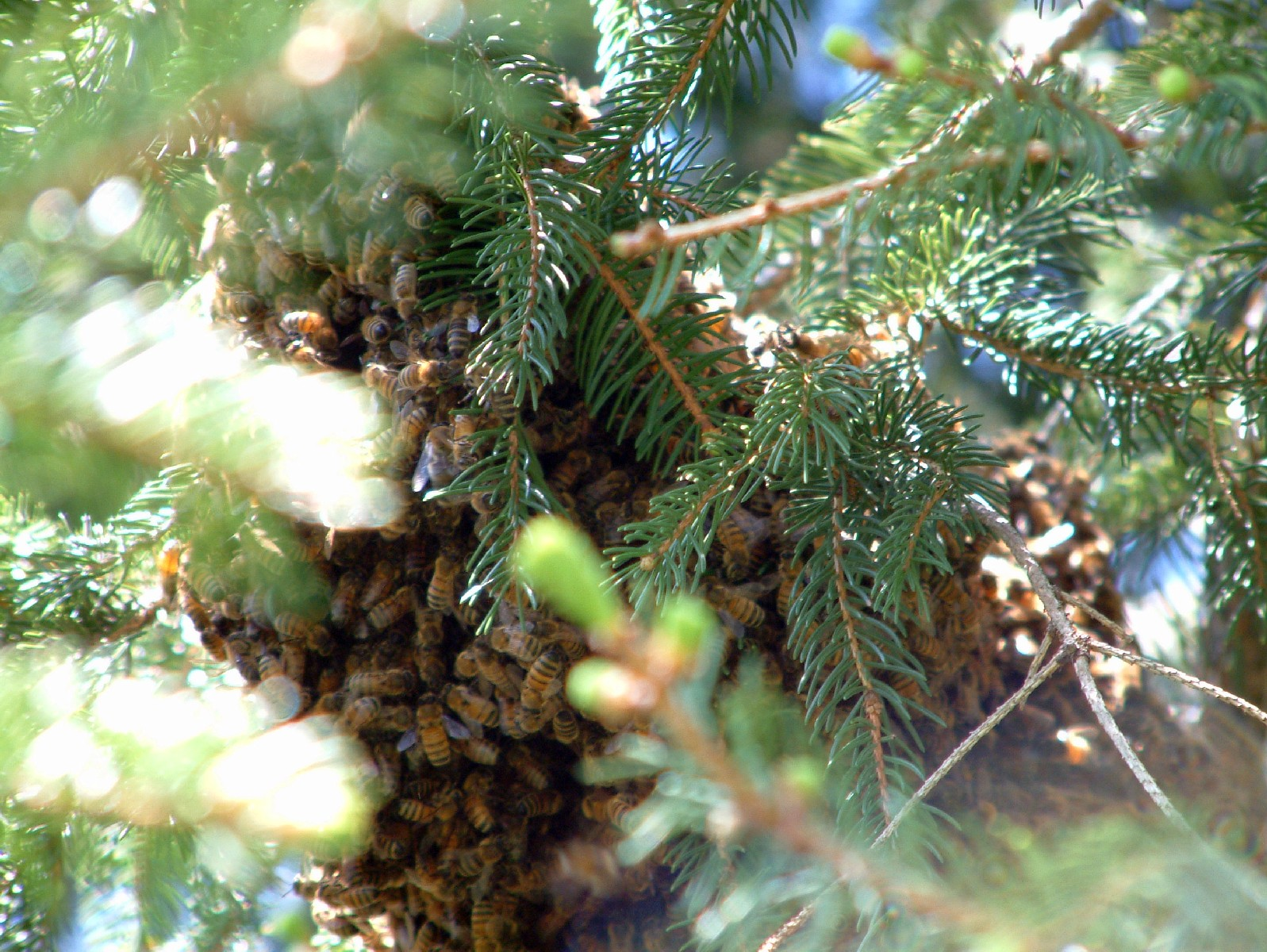 Swarm in Pines 2