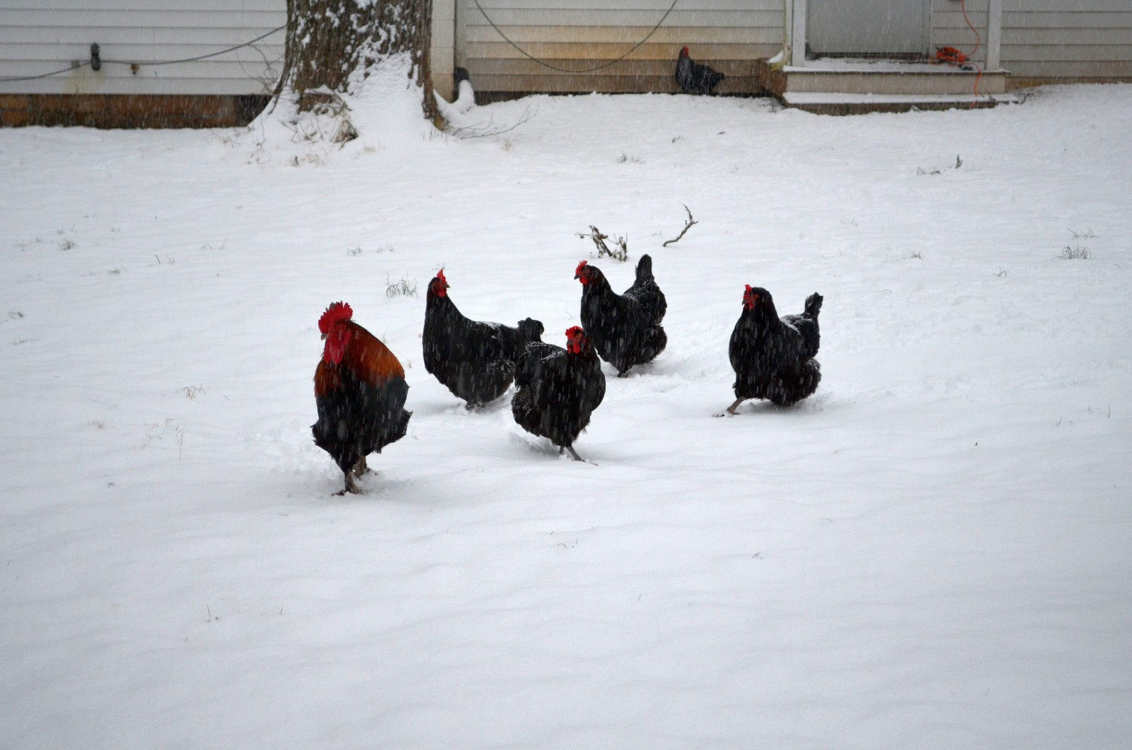 Chickies in the March snow