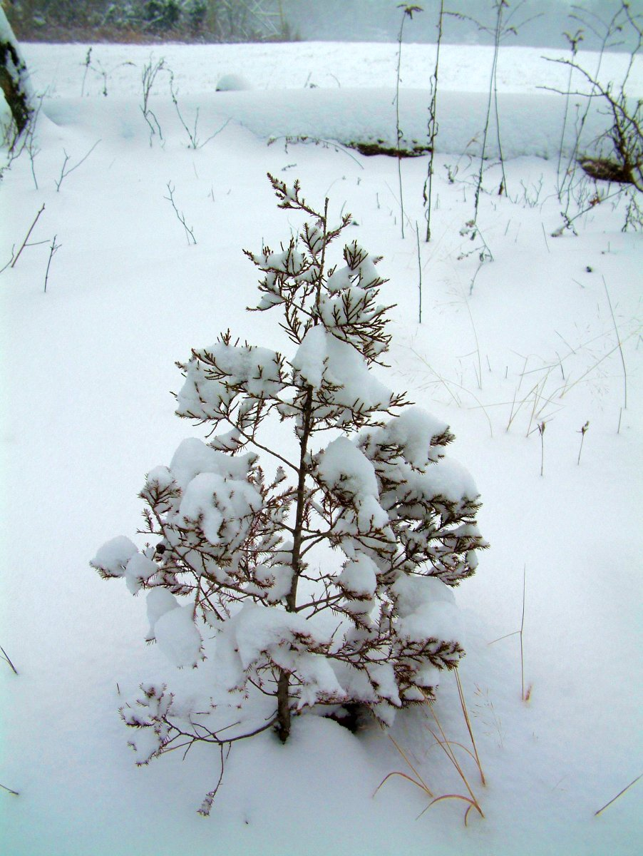 Little Pine in the Snow
