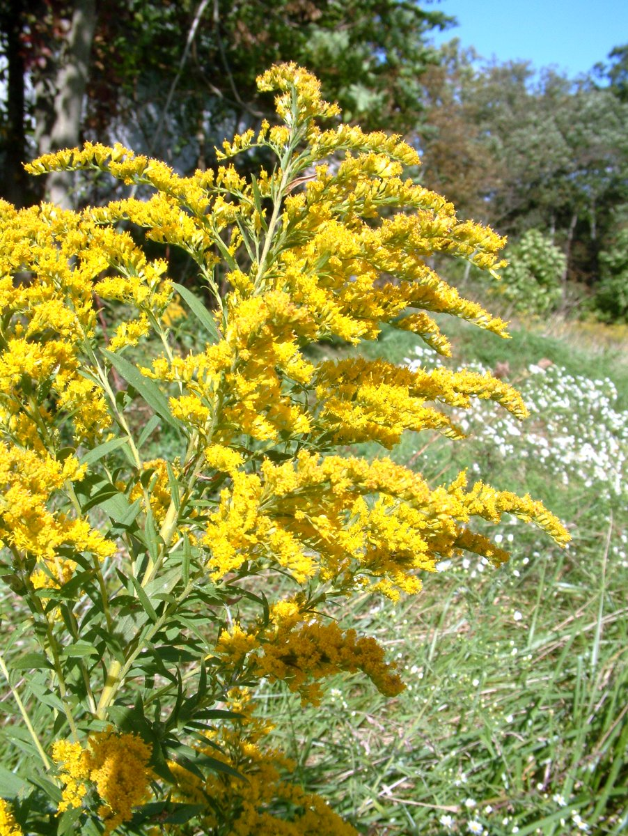 Early October Goldenrod