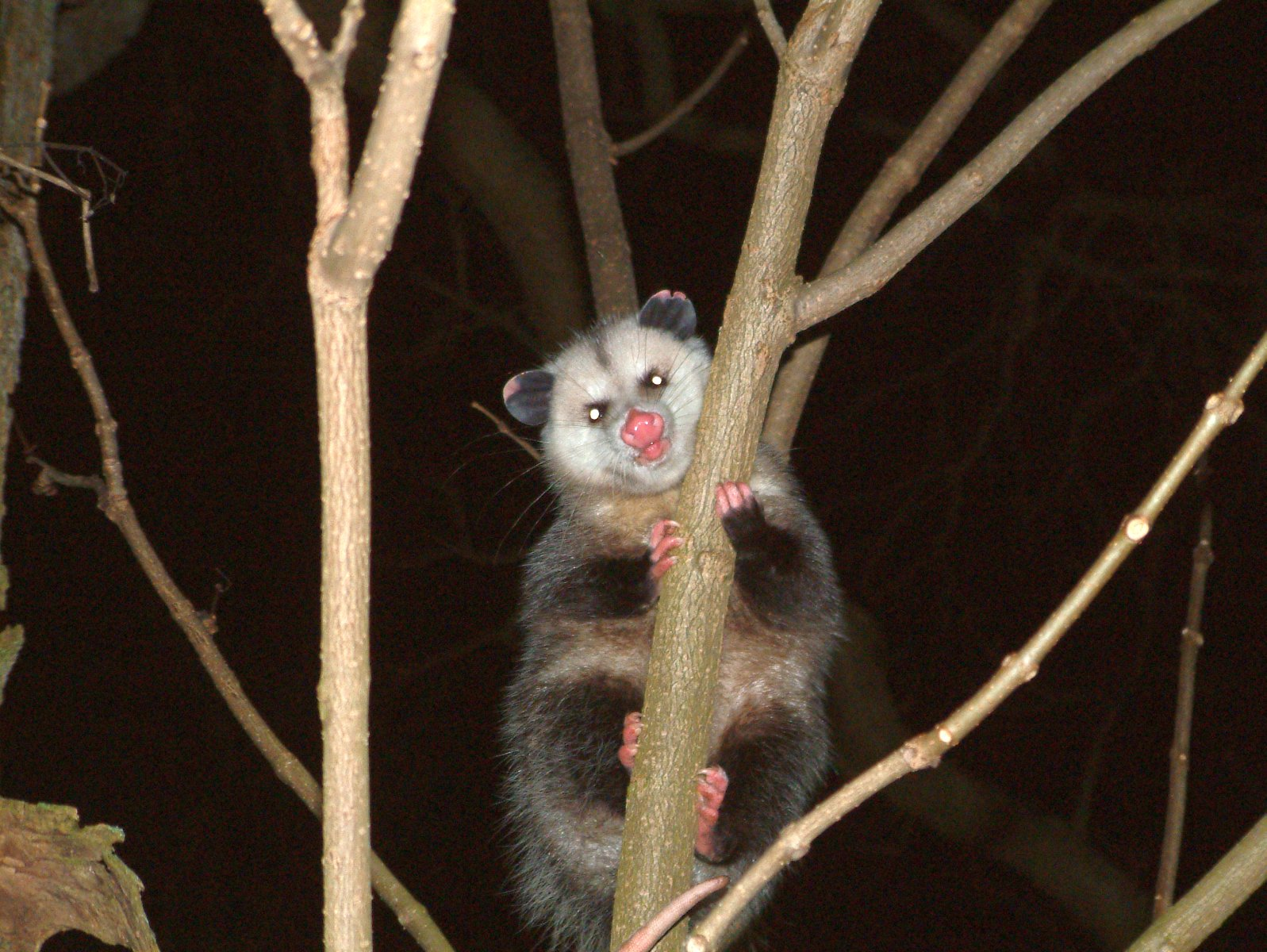 There's a possum in the tree!