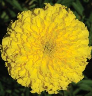 """Marigolds """"Giant Yellow"""""""