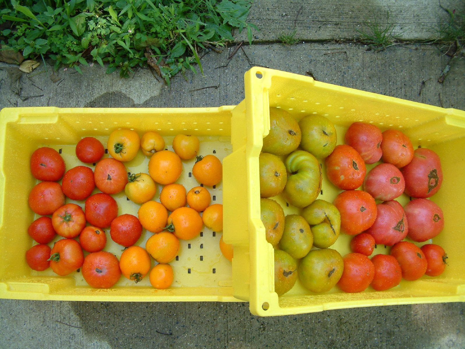 2010 Tomatoes in Baskets